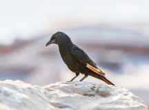 The male Tristram long-tailed starling sits on a stone on the ruins of the Masada fortress in the Judean desert in Israel and is l. Ooking for prey royalty free stock photos