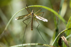 Male true crane fly. (Tipula paludosa), (Tipulidae family Royalty Free Stock Images