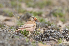 Male Trumpeter Finch. A male Trumpeter Finch (Bucanetes githagineus) against a blurred natural background Stock Images