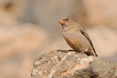 Male Trumpeter Finch - Bucanetes githagineus. Female Trumpeter Finch - Bucanetes githagineus sitting on the rock, beautiful pink and grey song bird living in Stock Images
