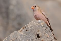 Male Trumpeter Finch - Bucanetes githagineus. Sitting on the rock, beautiful pink and gey song bird living in deserts and semi-deserts of the north Africa Royalty Free Stock Photo