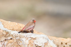 Male Trumpeter Finch perched on a rock Stock Photos