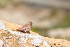 Male Trumpeter Finch perched on rocks. A male Trumpeter Finch (Bucanetes githagineus) perched on a rock facing right, against a blurred natural background Stock Images