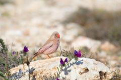 Male Trumpeter Finch perched on rocks. A male Trumpeter Finch (Bucanetes githagineus) perched on a rock facing right, in a natural desert setting, Cabo de Gata Royalty Free Stock Image