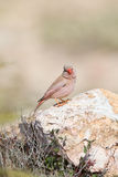 Male Trumpeter Finch perched on rocks. A male Trumpeter Finch (Bucanetes githagineus) perched on a rock , looking at the camera, against a blurred natural Royalty Free Stock Image