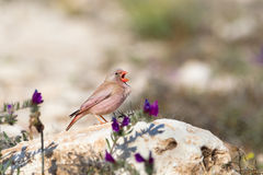 Male Trumpeter Finch perched on rocks, singing. A male Trumpeter Finch (Bucanetes githagineus) singing on a rock, amongst semi-desert vegetation, against a Royalty Free Stock Image