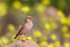 Male Trumpeter Finch standing on a rock. A male Trumpeter Finch Bucanetes githagineus perched on a rock against a blurred natural background, Almeria, Spain Stock Photo