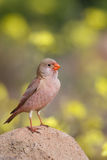 Male Trumpeter Finch standing on a rock. A male Trumpeter Finch Bucanetes githagineus perched on a rock against a blurred natural background, Andalusia, Spain Stock Image