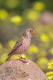 Male Trumpeter Finch standing on a rock. A male Trumpeter Finch Bucanetes githagineus perched on a rock against a blurred natural background, Cabo de Gata Stock Photo