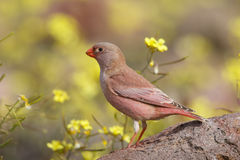 Male Trumpeter Finch standing on a rock. A male Trumpeter Finch Bucanetes githagineus perched on a rock against a blurred natural background of yellow flowers Royalty Free Stock Images