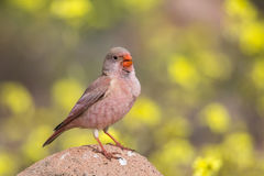 Male Trumpeter Finch standing on a rock. A male Trumpeter Finch Bucanetes githagineus perched on a rock, singing, against a blurred natural background of yellow Stock Images