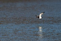 Male tufted duck aythya fuligula flying over water surface. In sunshine Royalty Free Stock Image