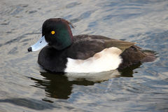 Male Tufted Duck aythya fuligula Hyde Park London Royalty Free Stock Image