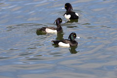 Male Tufted duck (Aythya fuligula) in japan in a lake. Male Tufted duck (Aythya fuligula) in swimming in a lake near yokohama, japan Stock Photography