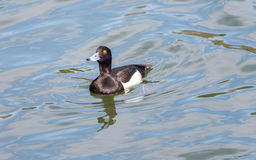 Male Tufted duck (Aythya fuligula) in japan in a lake. Male Tufted duck (Aythya fuligula) in swimming in a lake near yokohama, japan Stock Image