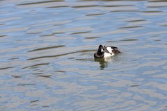 Male Tufted duck (Aythya fuligula) in japan in a lake. Royalty Free Stock Photography