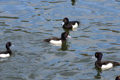 Male Tufted duck (Aythya fuligula) in japan in a lake. Male Tufted duck (Aythya fuligula) in swimming in a lake near yokohama, japan Stock Images