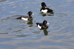 Male Tufted duck (Aythya fuligula) in japan in a lake. Royalty Free Stock Photos