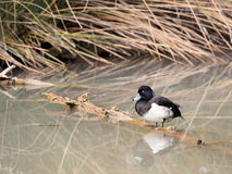 Male tufted duck Aythya fuligula in the river bank. Male tufted duck Aythya fuligula over a log in the river bank Stock Photo