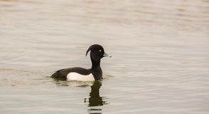 Male Tufted Duck swimming. A male Tufted Duck (Aythya fuligula) swimming Royalty Free Stock Photo