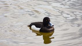 Male Tufted Duck or Aythya fuligula swimming in pond, close-up portrait, selective focus, shallow DOF.  royalty free stock photo