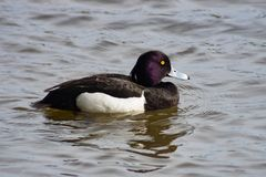 Male Tufted Duck or Aythya fuligula swimming in pond, close-up portrait, selective focus, shallow DOF.  royalty free stock photography