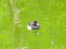 Male Tufted Duck or Aythya fuligula swimming in pond, close-up portrait, selective focus, shallow DOF.  royalty free stock photos