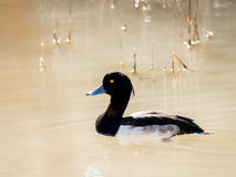 Male tufted duck Aythya fuligula swimming. In the river Stock Images