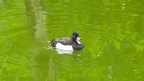 Male Tufted Duck or Aythya fuligula swimming in river, close-up portrait, selective focus, shallow DOF.  stock images