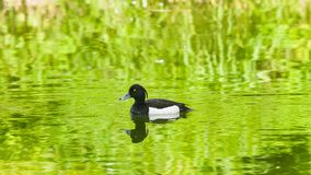 Male Tufted Duck or Aythya fuligula swimming in river, close-up portrait, selective focus, shallow DOF.  royalty free stock photos