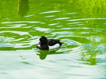 Male Tufted Duck or Aythya fuligula swimming in river, close-up portrait, selective focus, shallow DOF.  royalty free stock images