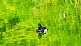 Male Tufted Duck or Aythya fuligula swimming in river, close-up portrait, selective focus, shallow DOF.  stock photo