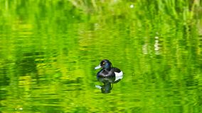 Male Tufted Duck or Aythya fuligula swimming in river, close-up portrait, selective focus, shallow DOF.  stock photos