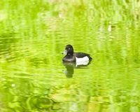 Male Tufted Duck or Aythya fuligula swimming in river, close-up portrait, selective focus, shallow DOF.  stock photography
