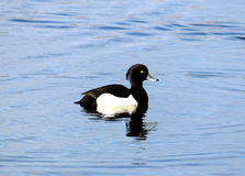 Male Tufted Duck Aythya fuligula on water. Solitary male Tufted Duck (Aythya fuligula) swimming on a small pond in bright winter sunshine Stock Image