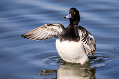 Male tufted duck. Flapping wings on water with reflection and water ripples. Wings out stretched Royalty Free Stock Images