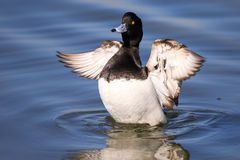 Male tufted duck. Flapping wings on water with reflection and water ripples. Wings out stretched Stock Image