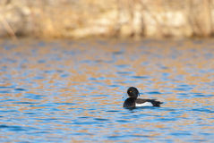 Male Tufted Duck on a lake Stock Photos