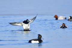 Male Tufted duck. In a lake in winter Royalty Free Stock Images