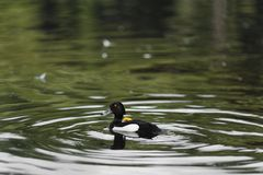 Male Tufted duck. Swimming in a lake Stock Images