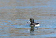 Male Tufted Duck. Swimming on a lake Stock Photography