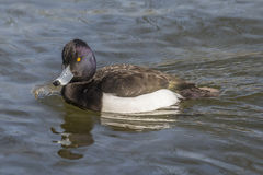 Male tufted duck. Swimming in sunny weather Stock Photos