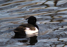 Male Tufted duck. Tufted duck swimming in the water in the forest, in the Netherlands Stock Image