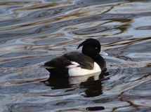 Male Tufted duck. Tufted duck swimming in the water in the forest, in the Netherlands Stock Photo