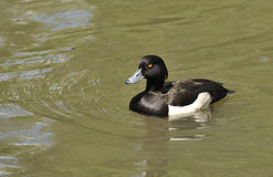 Male tufted duck. In water Royalty Free Stock Image