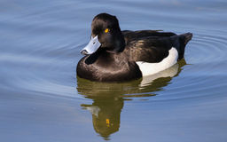 Male tufted duck. On water with reflection and water ripples Royalty Free Stock Photography