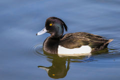 Male tufted duck. On water with reflection and water ripples Royalty Free Stock Photos
