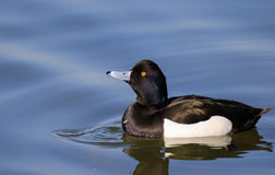 Male tufted duck. On water with reflection and water ripples Royalty Free Stock Image