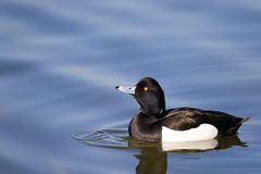 Male tufted duck. On water with reflection and water ripples Stock Photos