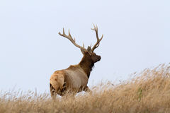 Male Tule Elk. Standing up in the meadow, Point Reyes National Seashore, CA Royalty Free Stock Image